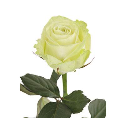 Белая Роза Аваланч