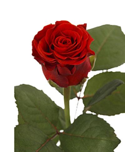 Алая роза Эль торо
