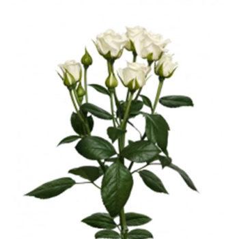 Белая кустовая роза Сноуфлейк
