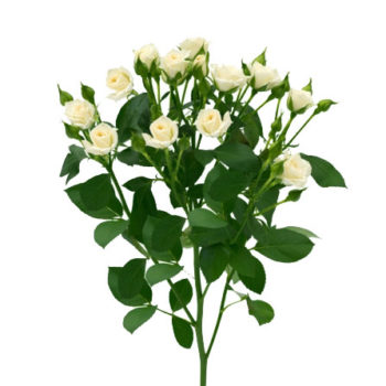 Белая кустовая роза Вайт Лидия