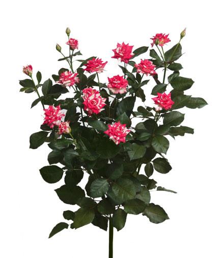 Малиново-белая кустовая роза Файерворкс