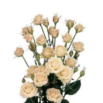 Бежевая кустовая роза Яна