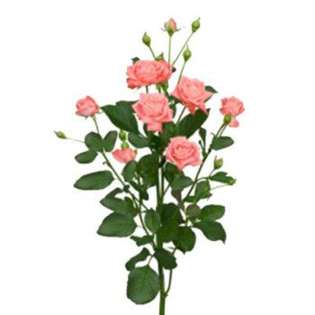 Коралловая кустовая роза Барбадос