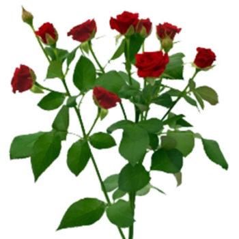 Красная кустовая роза Мирабель