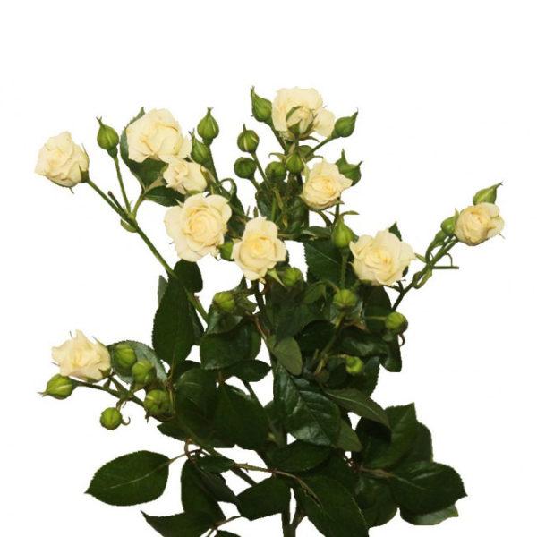 Кремовая кустовая роза Крем Грация