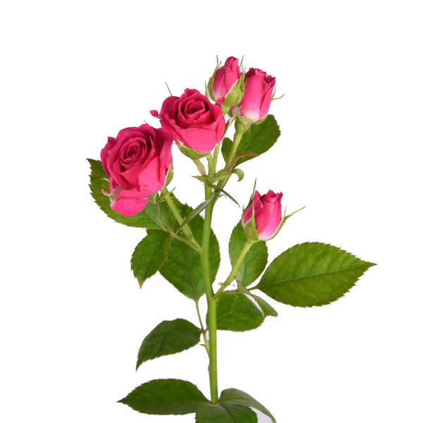 Малиновая кустовая роза Лавли Лидия
