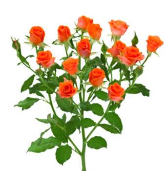 Оранжевая кустовая роза Алегрия