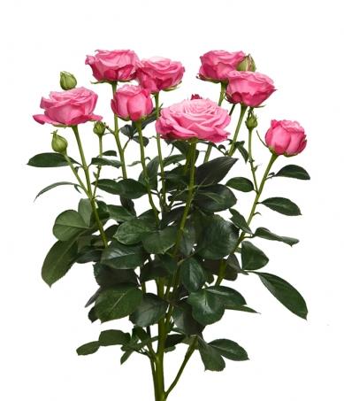 Пионовидная розовая роза Леди Бомбастик