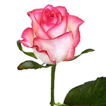 Розовая с белым роза Джамилия