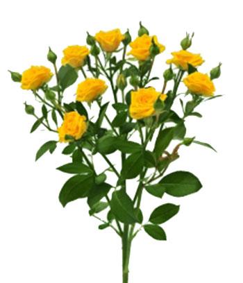 Желтая кустовая роза Шанни