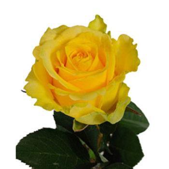 Желтая роза Илиос